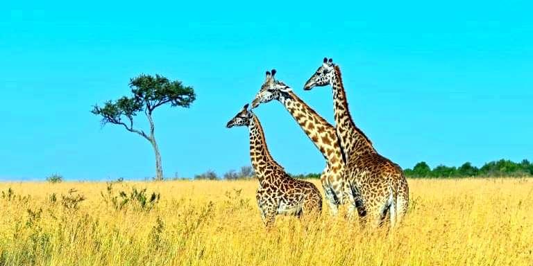 Ai langata giraffe center 1