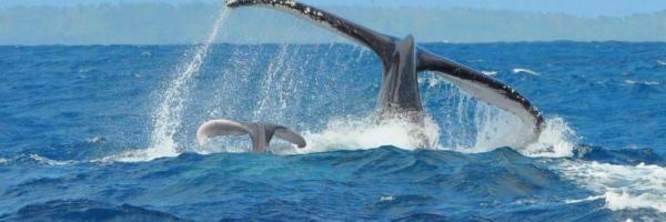 Baleine sainte marie 2