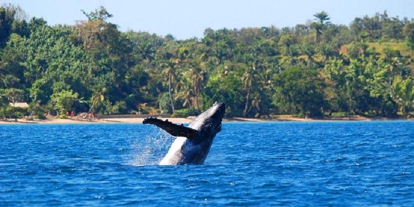 Baleine sainte marie